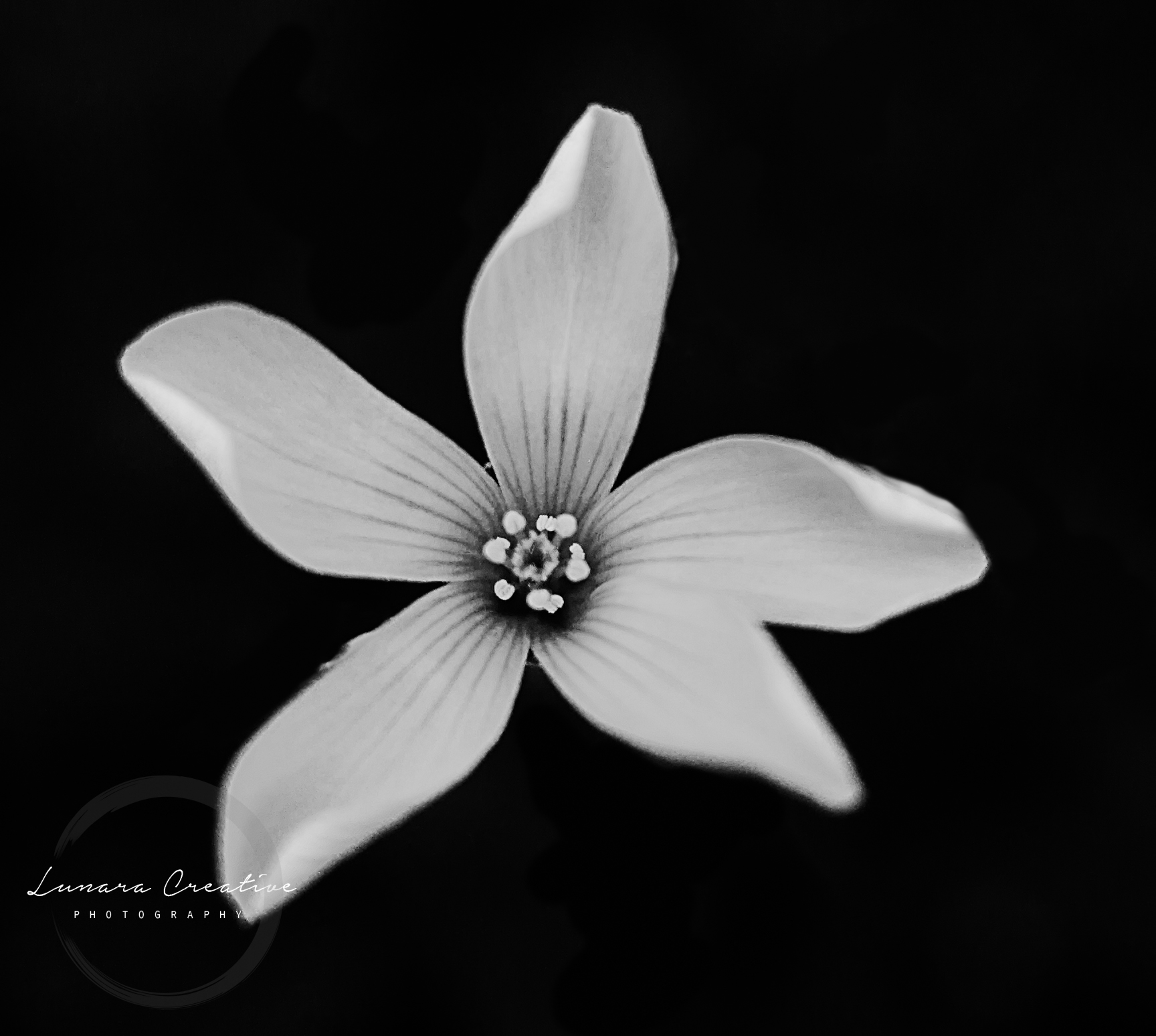 Lonely Flower - A lonely buttercup shot on a black background. by Lunara Creative Photography